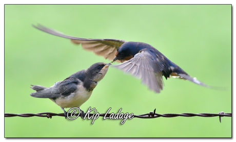 Adult Barn Swallow Feeding Young Barn Swallow - Image 580897 (© Kip Ladage)