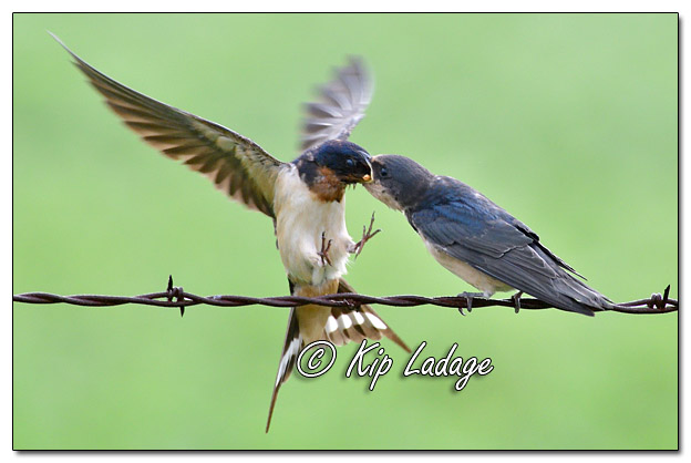 Adult Barn Swallow Feeding Young Barn Swallow - Image 580901 (© Kip Ladage)