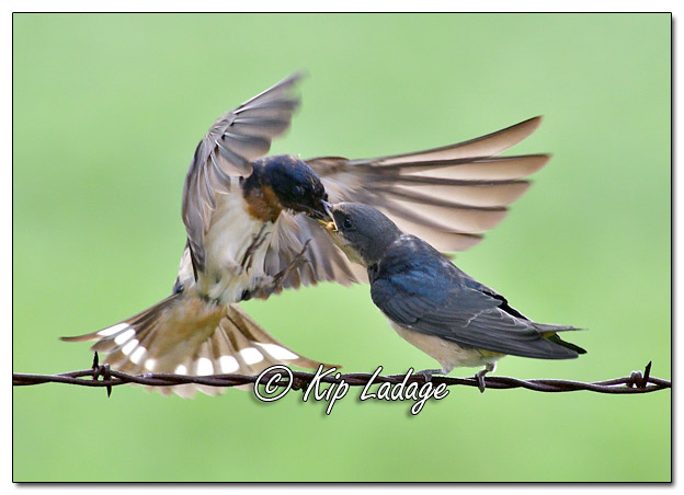 Adult Barn Swallow Feeding Young Barn Swallow - Image 580902 (© Kip Ladage)