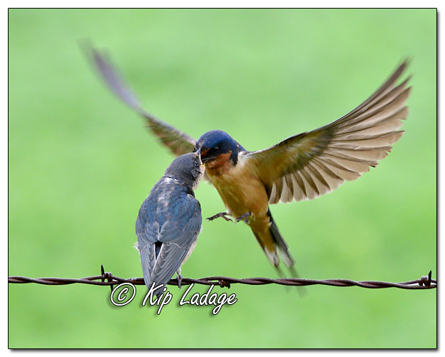 Adult Barn Swallow Feeding Young Barn Swallow - Image 580907 (© Kip Ladage)