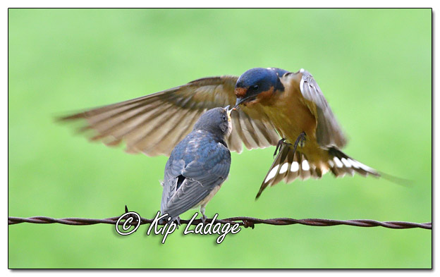 Adult Barn Swallow Feeding Young Barn Swallow - Image 580908 (© Kip Ladage)