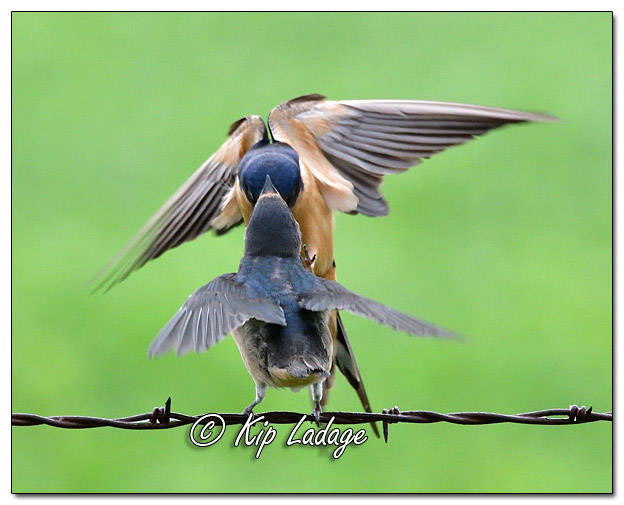 Adult Barn Swallow Feeding Young Barn Swallow - Image 580912 (© Kip Ladage)