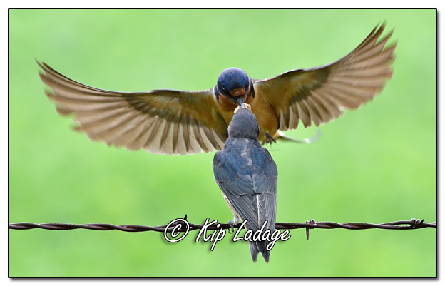 Adult Barn Swallow Feeding Young Barn Swallow - Image 580914 (© Kip Ladage)
