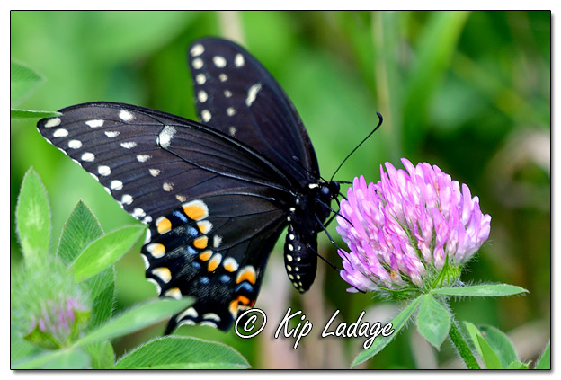 Black Swallowtail Butterfly - Image 582428 (©Kip Ladage)