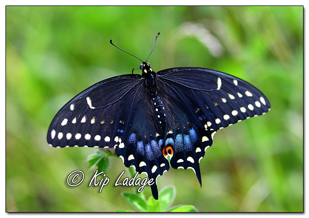 Black Swallowtail Butterfly - Image 582460 (©Kip Ladage)