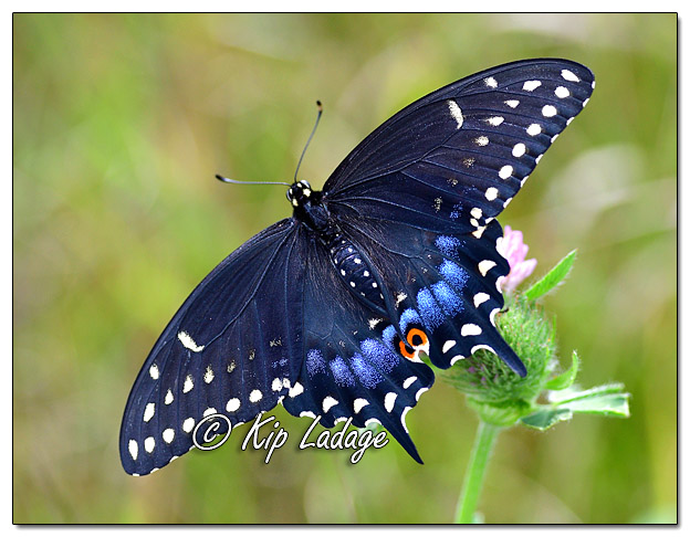 Black Swallowtail Butterfly - Image 582479 (©Kip Ladage)