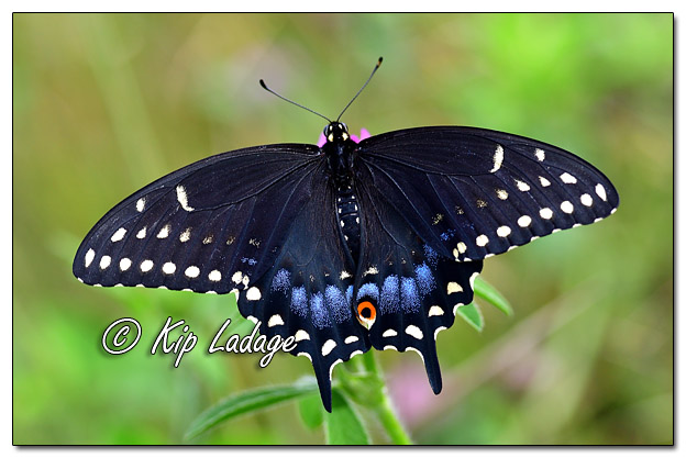 Black Swallowtail Butterfly - Image 582498 (©Kip Ladage)