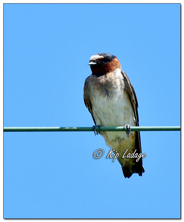 Cliff Swallow on Power Line - Image 580959 (© Kip Ladage)
