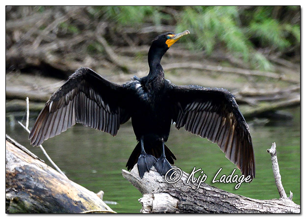 Double-crested Cormorant on Log - Image 581753 - (© Kip Ladage)