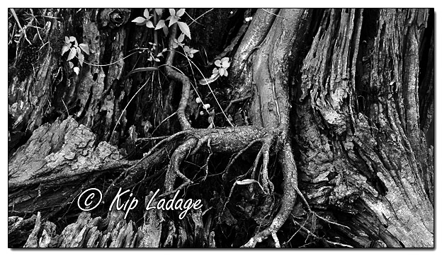 Exposed Tree Roots - Image 581306 - mono (© Kip Ladage)
