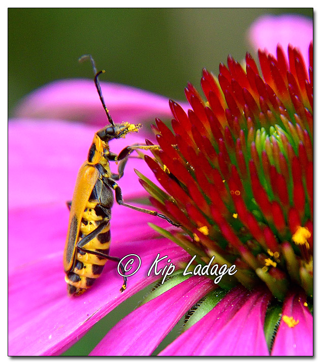 Goldenrod Soldier Beetle on Purple Coneflower - Image 584302 (© Kip Ladage)