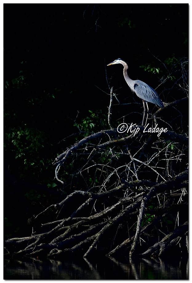 Great Blue Heron in Downed Tree - Image 580661 (© Kip Ladage)