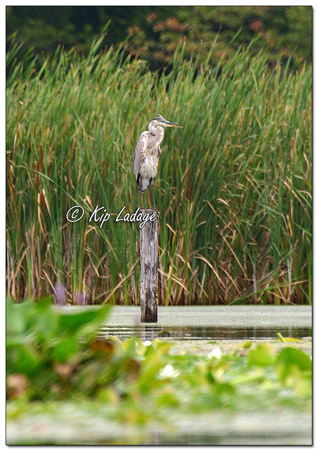 Great Blue Heron on Wooden Post at Sweet Marsh - Image 582250 (© Kip Ladage)