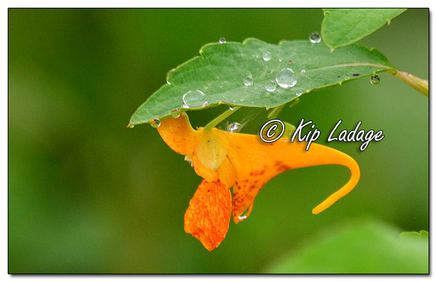 Jewelweed (Touch-me-not) - Image 582383 (© Kip Ladage)