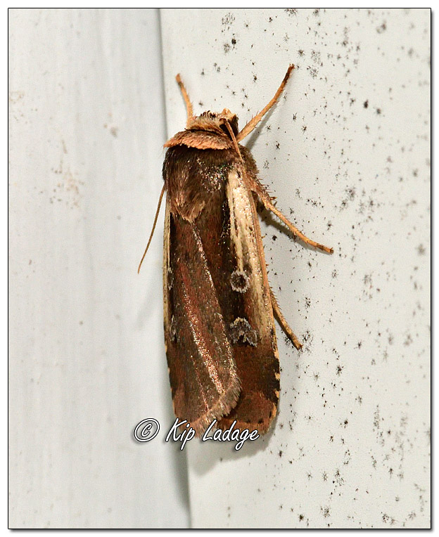 Moth on Siding - Image 581333 - (© Kip Ladage)