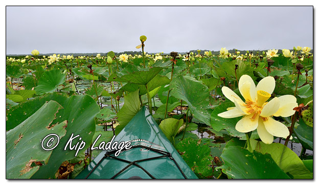 Paddling in American Lotus at Sweet Marsh - Image 582266 (© Kip Ladage)