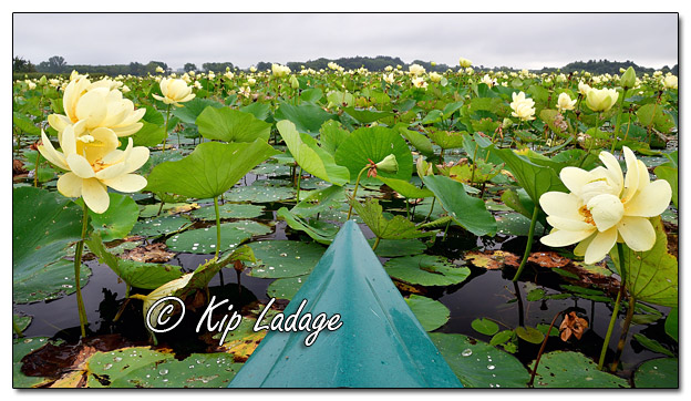Paddling in American Lotus at Sweet Marsh - Image 582319 (© Kip Ladage)