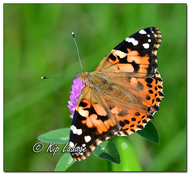 Painted Lady Butterfly on Clover - Image 582515 (©Kip Ladage)