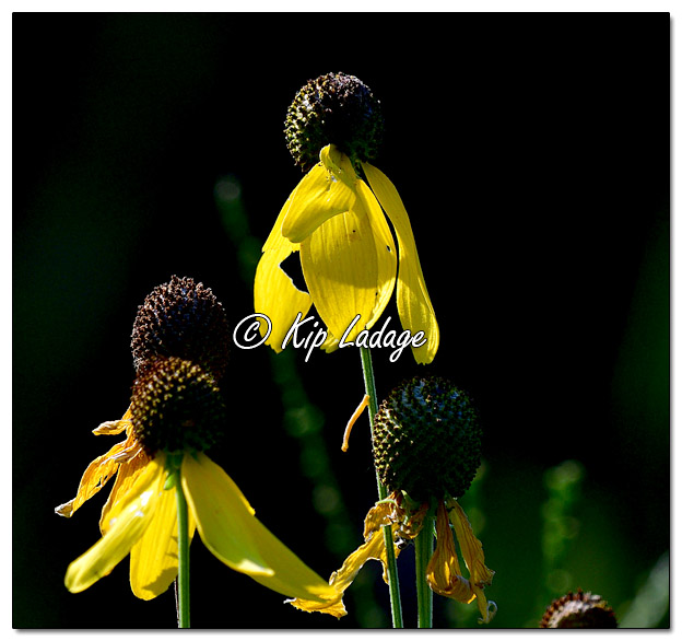 Prairie Coneflower Against a Dark Background - Image 581180 (© Kip Ladage)