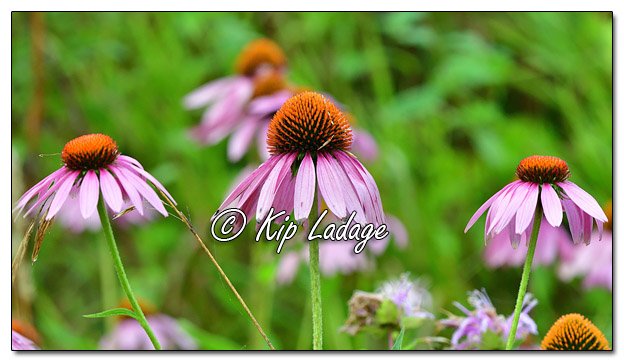 Purple Coneflowers in Ditch - Image 581079 (© Kip Ladage)