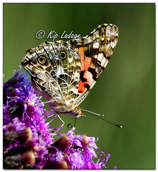 Red Admiral Butterfly on Ironweed - Image 581187 (© Kip Ladage)