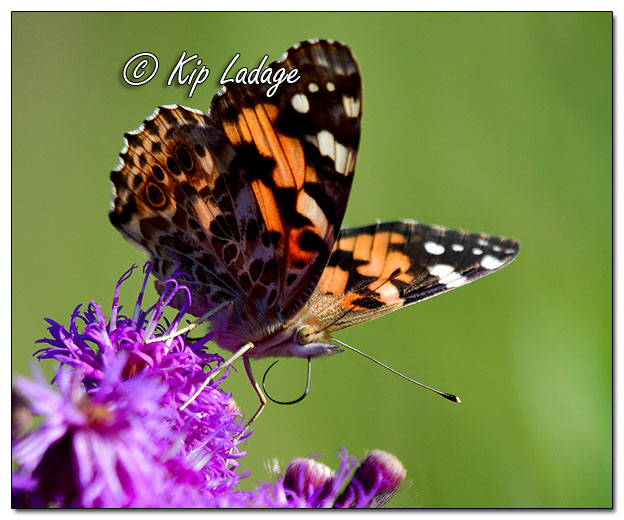Red Admiral Butterfly on Ironweed - Image 581201 (© Kip Ladage)