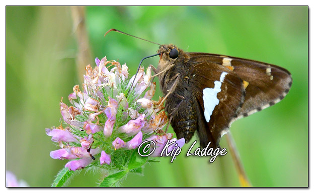 Silver-spotted Skipper Butterfly - Image 582538 (©Kip Ladage)