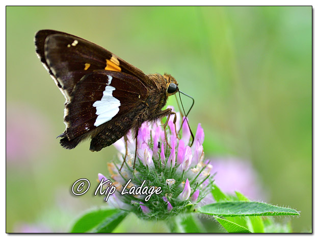 Silver-spotted Skipper Butterfly - Image 582546 (©Kip Ladage)