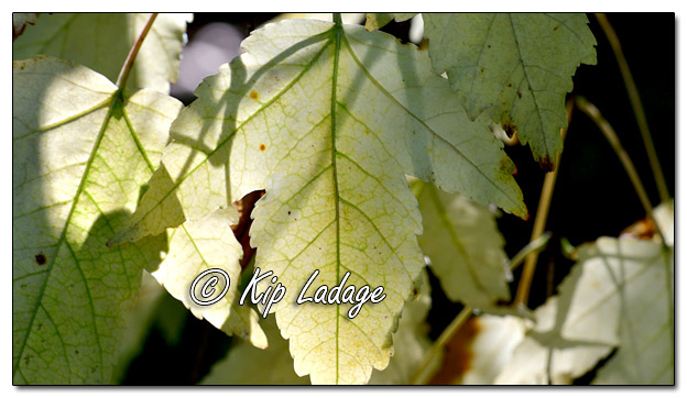 Backlit White Maple Leaf - Image 586303 (© Kip Ladage)