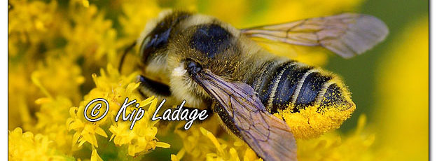 Pollen-covered Bumblebee on Goldenrod Along the Sweet Water Trail - Image 587387 (© Kip Ladage)