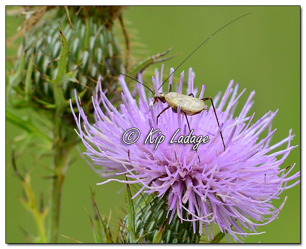 Insect on Thistle - Image 586638 (© Kip Ladage)