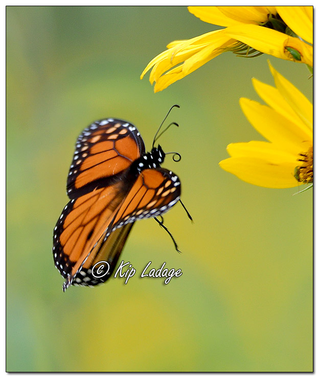 Monarch Butterfly and Sunflower Species - Image 589180 (Kip Ladage)