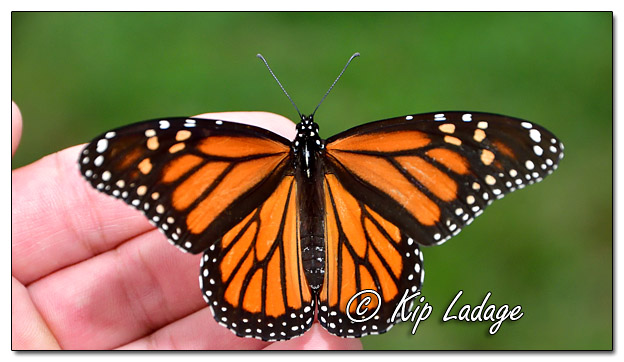 Monarch Butterfly in Hand - Image 587669 (© Kip Ladage)