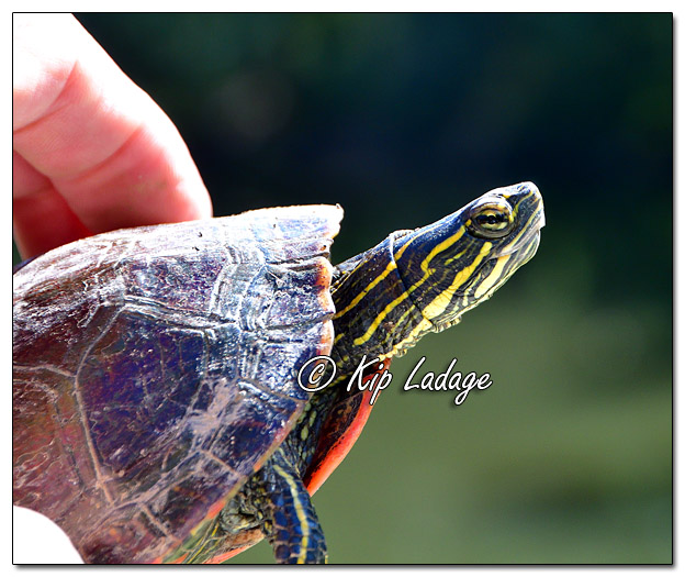 Painted Turtle in Hand - Image 589022 (Kip Ladage)