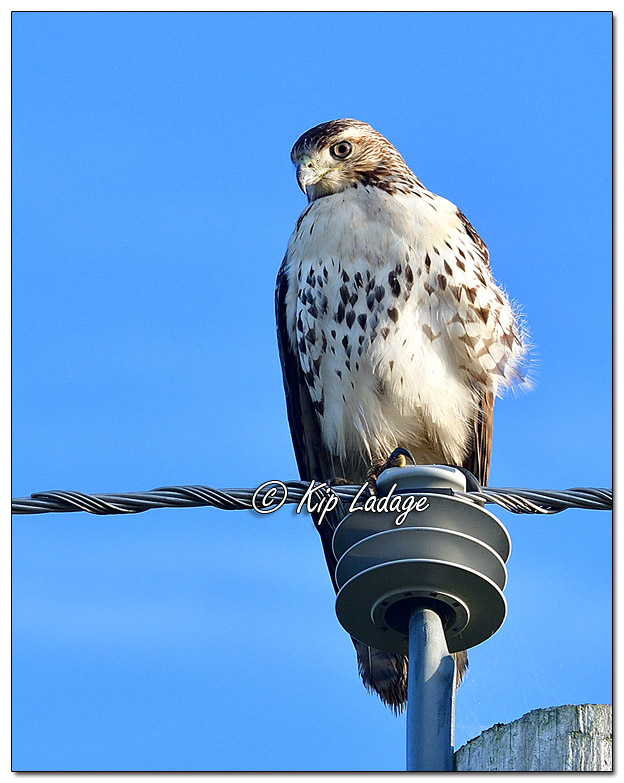 Red-tailed Hawk on Utility Pole - Image 589062 (Kip Ladage)
