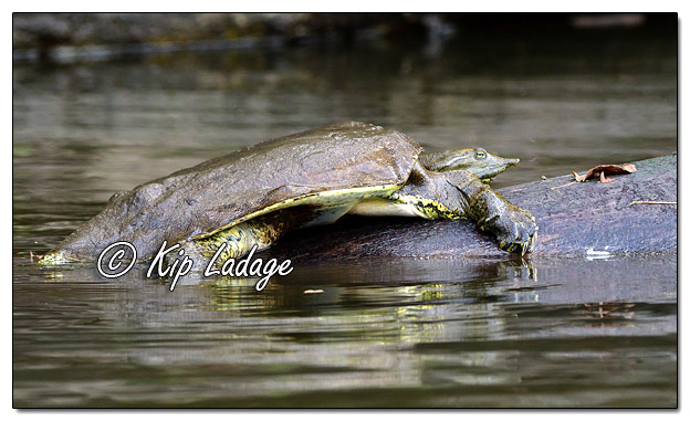 Softshell Turtle on Cedar River - Image 587290 (© Kip Ladage)