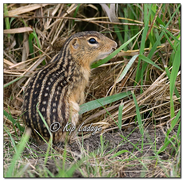 Thirteen-lined Ground Squirrel - Image 586144 (© Kip Ladage)