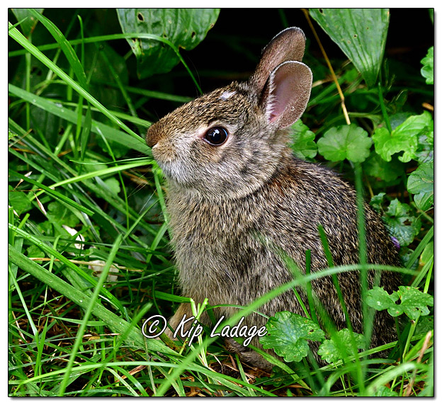 Young Cottontail Rabbit Eating Grass - Image 588735 (Kip Ladage)