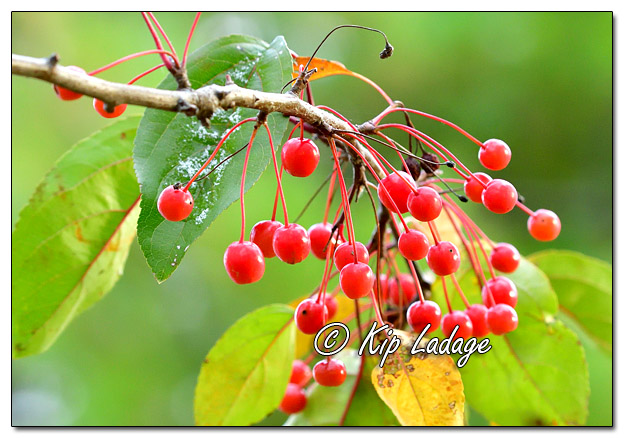 Autumn Berries - Image 595762 (© Kip Ladage)