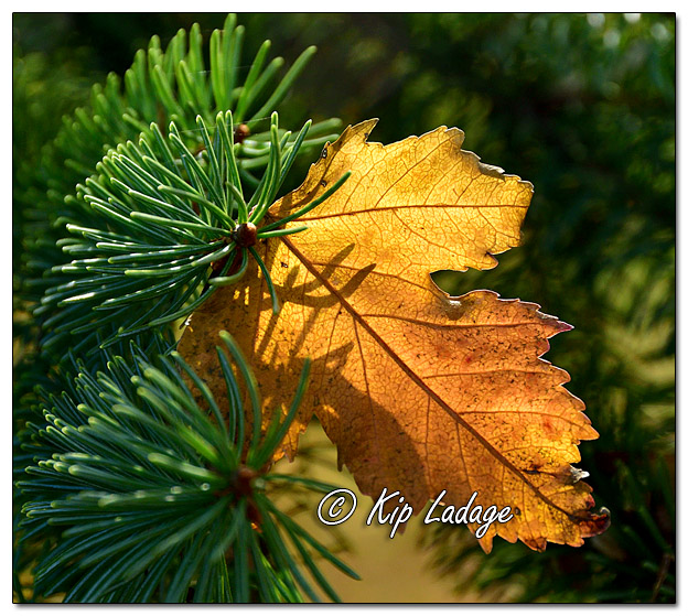 Autumn Leaf in Conifer - Image 595535 (© Kip Ladage);