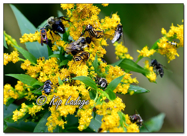 Bees and Flies on Goldenrod - Image 590883 (© Kip Ladage)