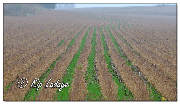 Cover Crops in Soybeans - Image 590292 (© Kip Ladage)