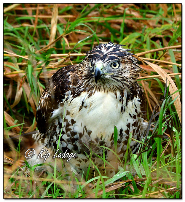 Juvenile Red-tailed Hawk in Ditch - Image 592881 (© Kip Ladage)