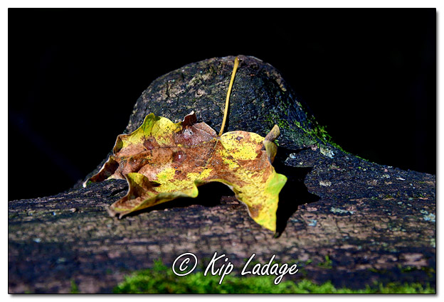 Leaf on Old Log at Brush Creek Canyon - Image 591450 (© Kip Ladage)