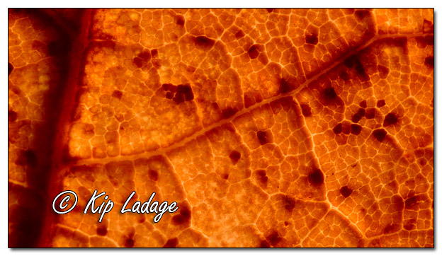 Macro - Autumn Leaf (Backlit) - Image 591527 (© Kip Ladage)