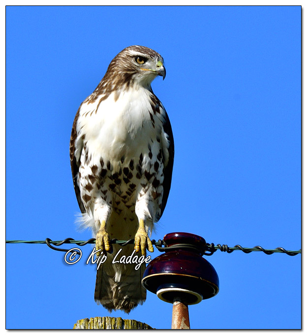 Red-tailed Hawk on Pole - Image 592616 (© Kip Ladage)