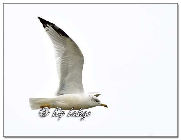 Ring-billed Gull - Image 590965 (© Kip Ladage)