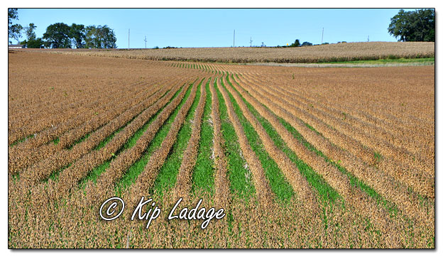 Soybeans with Cover Crops - Image 591143 (© Kip Ladage)