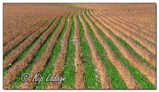 Soybeans with Cover Crops - Image 591162 (© Kip Ladage)