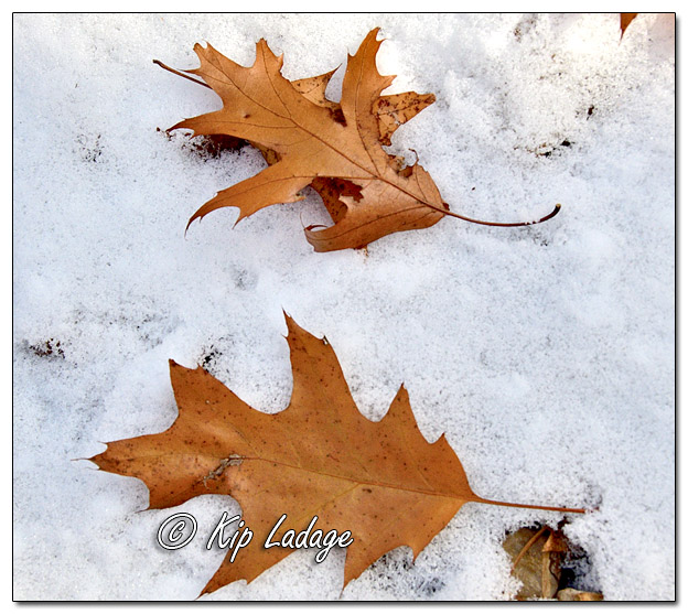 Autumn Leaves in Snow - Image 596874 (© Kip Ladage)